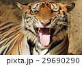 動物 タイガー トラの写真 29690290
