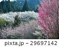 美郷梅林(徳島県吉野川市美郷) 29697142