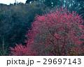 紅梅鮮やか(徳島県吉野川市美郷) 29697143