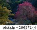 紅梅鮮やか(徳島県吉野川市美郷) 29697144