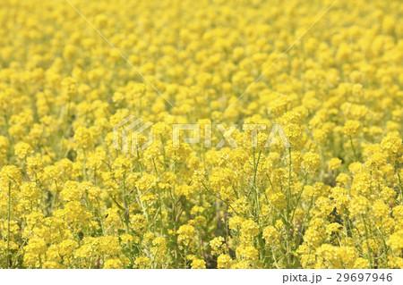 一面に咲く菜の花(三重県名張市) 29697946
