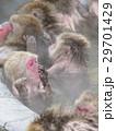 イモ洗い状態の温泉猿(縦構図) 29701429
