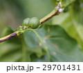 緑色のコーヒー豆(1粒) 29701431