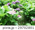 紫陽花 アジサイ あじさいの写真 29702801