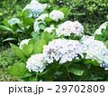 紫陽花 アジサイ あじさいの写真 29702809
