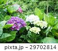 紫陽花 アジサイ あじさいの写真 29702814