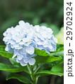 紫陽花 アジサイ あじさいの写真 29702924