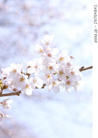 桜 29704841