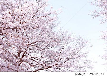 桜 29704844