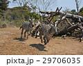 動物 走る シマウマの写真 29706035