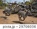 動物 走る シマウマの写真 29706036
