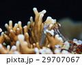カエルウオ 海水魚 イシガキカエルウオの写真 29707067