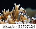 カエルウオ 海水魚 イシガキカエルウオの写真 29707124