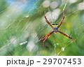 クモ 蜘蛛 スパイダーの写真 29707453