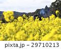 菜の花とSL 29710213