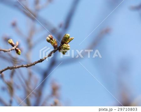もう直ぐ咲くオオシマザクラの桃色になった蕾 29710803