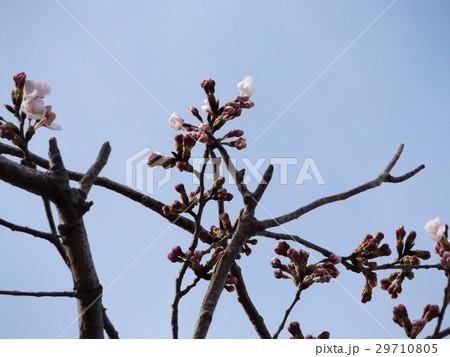 咲き始めたオオシマザクラの白い花 29710805