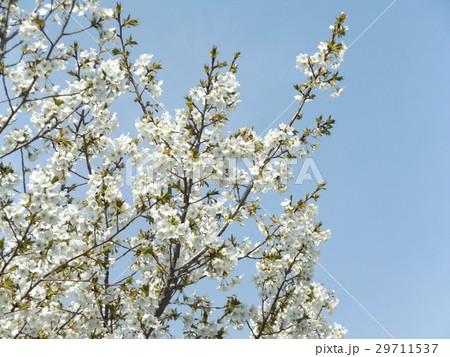 満開になったヤマザクラの花は若葉と一緒に 29711537