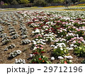 春の花デージーの赤色と白色の花 29712196