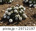 スイートアリッサムの白い花 29712197