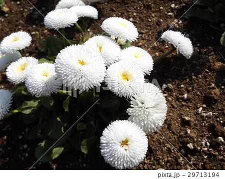 春の花デージーの白い花 29713194
