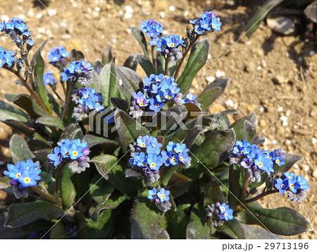 ワスレナグサの青い花 29713196