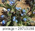 ワスレナグサの青い花 29713198