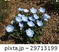こどもの笑顔のようなネモフィラの青い花 29713199