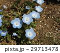 こどもの笑顔のようなネモフィラの青い花 29713478