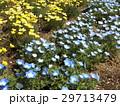 こどもの笑顔のようなネモフィラの青い花 29713479