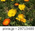 アイスランドポピーの黄色とオレンジ色の花 29713480