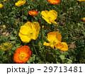 アイスランドポピーのオレンジ色と黄色の花 29713481