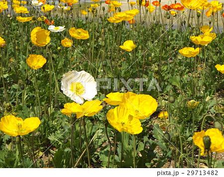 アイスランドポピーのオレンジ色と白い花 29713482