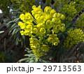トウダイグサ科のユーフォルビア 29713563