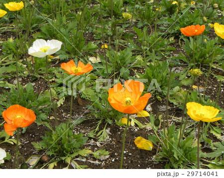 アイスランドポピーのオレンジ色と白い花 29714041
