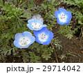 こどもの笑顔のようなネモフィラの青い  29714042