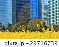 浜離宮恩賜庭園の菜の花畑 29716739