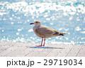 小笠原のカモメ 29719034