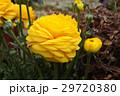 ラナンキュラス ハナキンポウゲ 花の写真 29720380