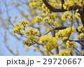 サンシュユ 山茱萸 花の写真 29720667