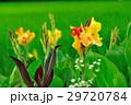 カンナ 花 黄色の写真 29720784