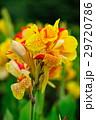カンナ 花 黄色の写真 29720786