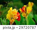 カンナ 花 黄色の写真 29720787