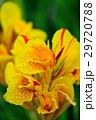 カンナ 花 黄色の写真 29720788