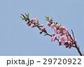 桃 桃の花 青空の写真 29720922
