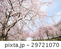 桜 満開 花の写真 29721070