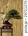 鉢 鉢植え 盆栽の写真 29721270