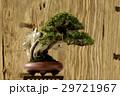 鉢 鉢植え 盆栽の写真 29721967
