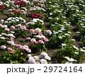 春の花デージーとノースポールの白い花 29724164