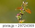 カリン 蕾 花芽の写真 29724369